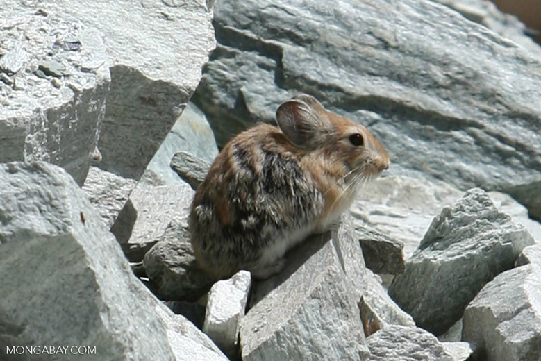 Chinese rodent in Xinjiang