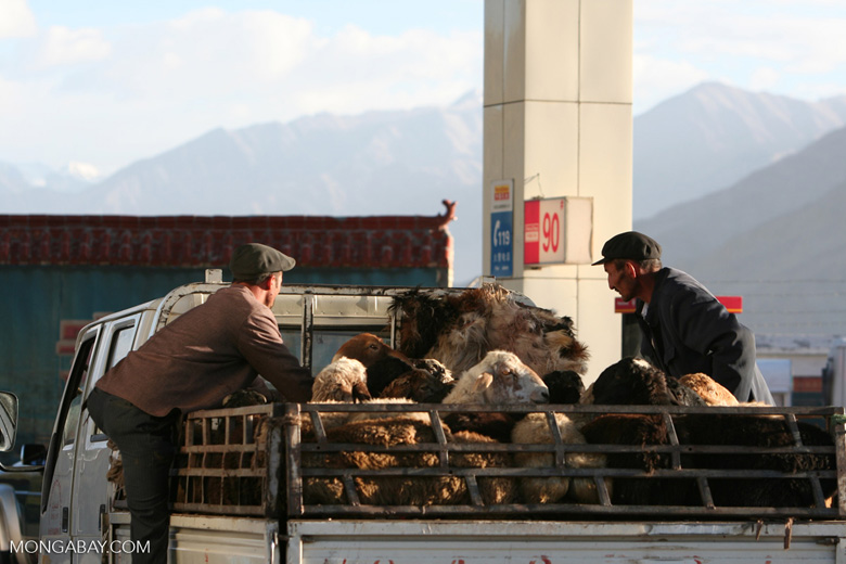 Sheep in theback of a truck in Tashkurgan