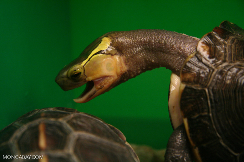 Yellow margined Box turtle (Cistoclemmys flavomarginata) from southern China