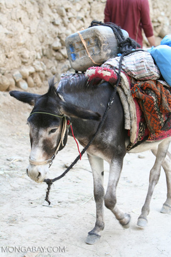 Loaded donkey in Datong village