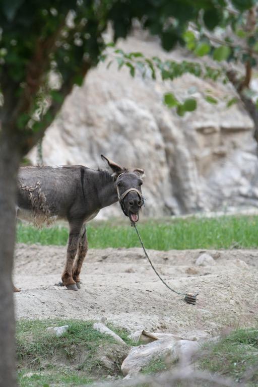 Noisy donkey