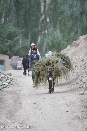 Donkey carrying a load of hay in a Tajik village in China