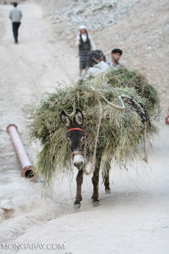 Donkey carrying a load of hay