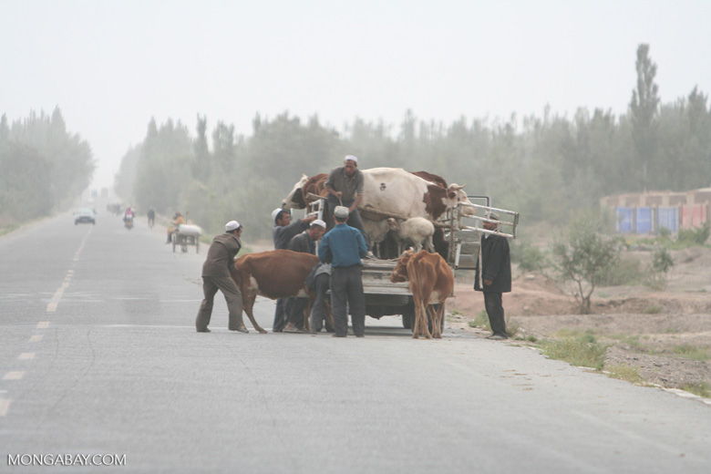 Loading cattle into a pickup truck