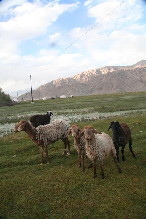 Sheep in Tashkorgan meadow
