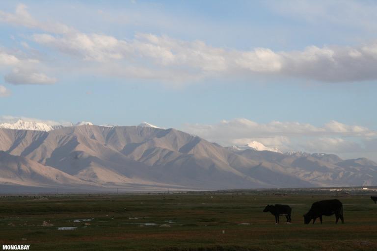 Cattle grazing in a meadow in Tashkorgan