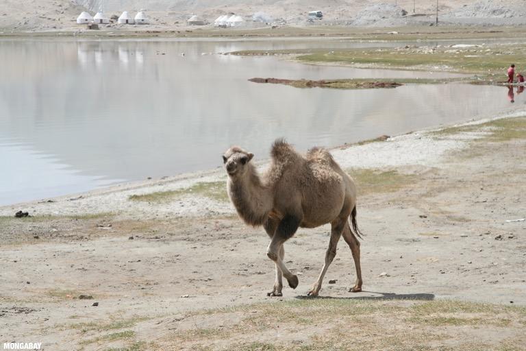 Camel next to Lake Karakul