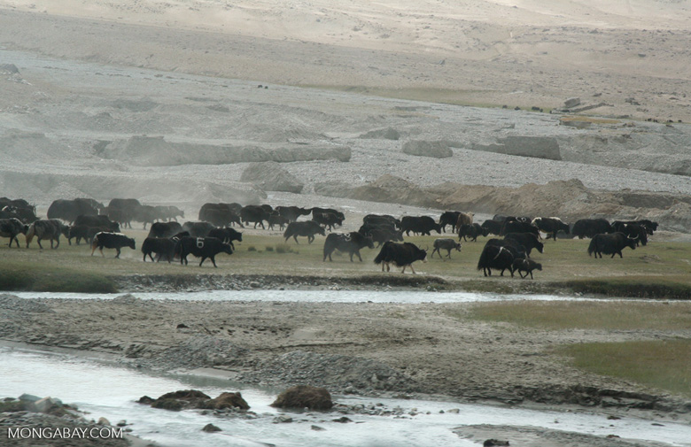 Yaks being drive across a plain in western China