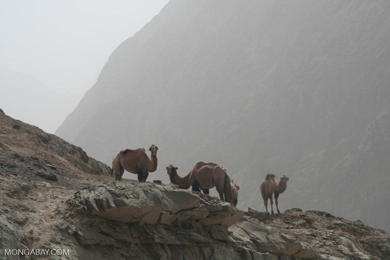 Camels in western China