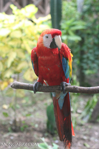 Scarlet macaw [br_co-0030]