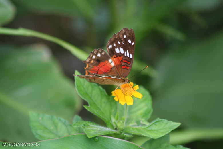 Colorful butterfly feeding on a yellow flower [br_co-0046]