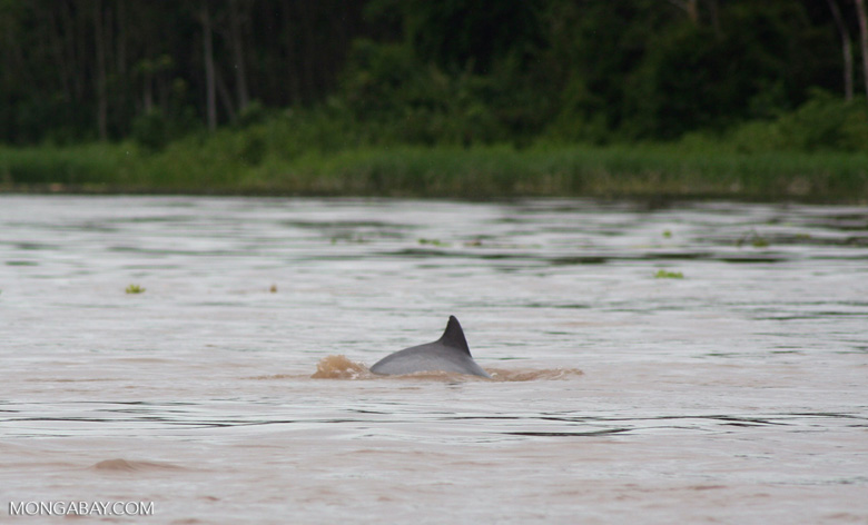 Tucuxi Dolphin in the Amazon river