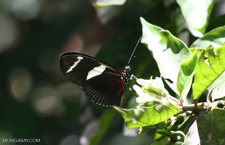 Black, red, and yellow butterfly