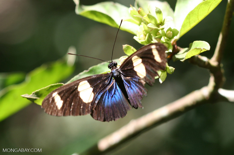 Black, blue, and yellow butterfly