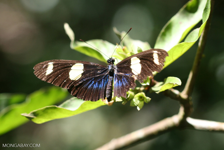 Black, blue, and yellow butterfly [br_co-0090]