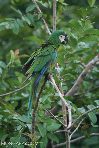 Chestnut-fronted Macaw or Severe Macaw (Ara severus)