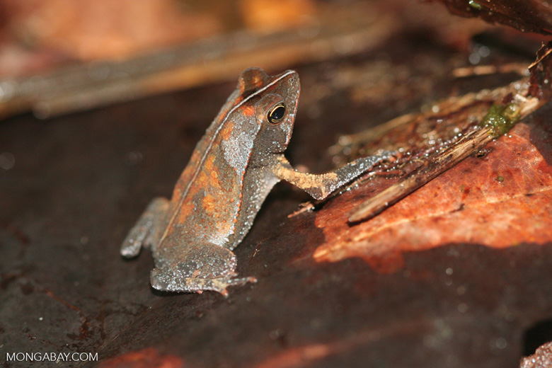 Leaf toad (Bufo cf. margaritifer) in the Amazon.  Identification by Alexander Gostner.