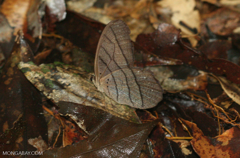Brown butterfly on the forest floor