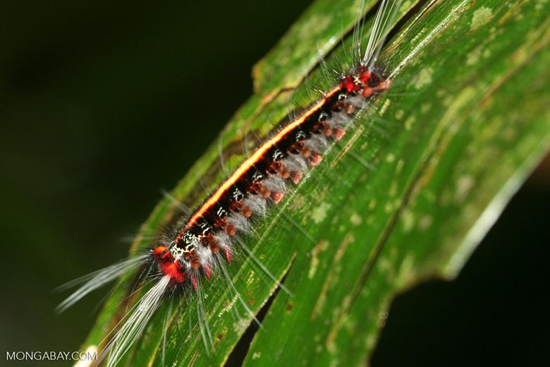 Red, black, yellow, and white caterpillar