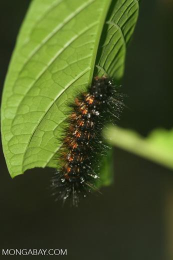 Black spiny caterpillar