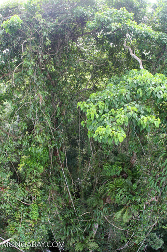 Riot of vegetation in the rainforest canopy