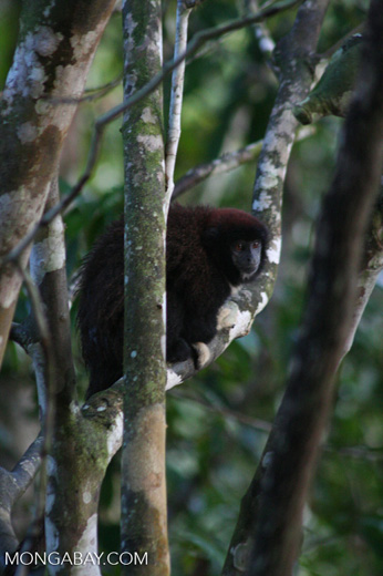 Yellow-handed Titi Monkey [br_co-0316]