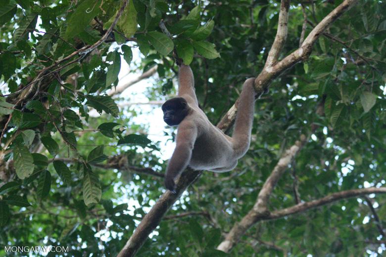 Woolly monkey [br_co-0323]