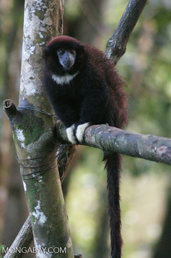 Yellow-handed Titi Monkey