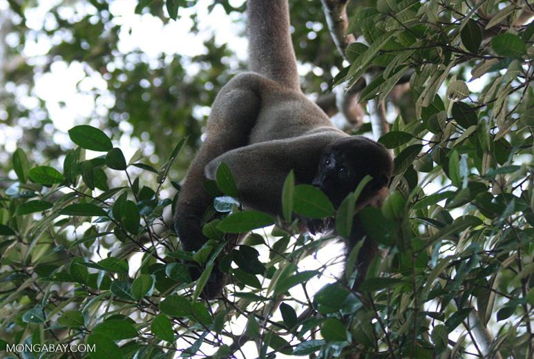 Woolly monkey [br_co-0331]