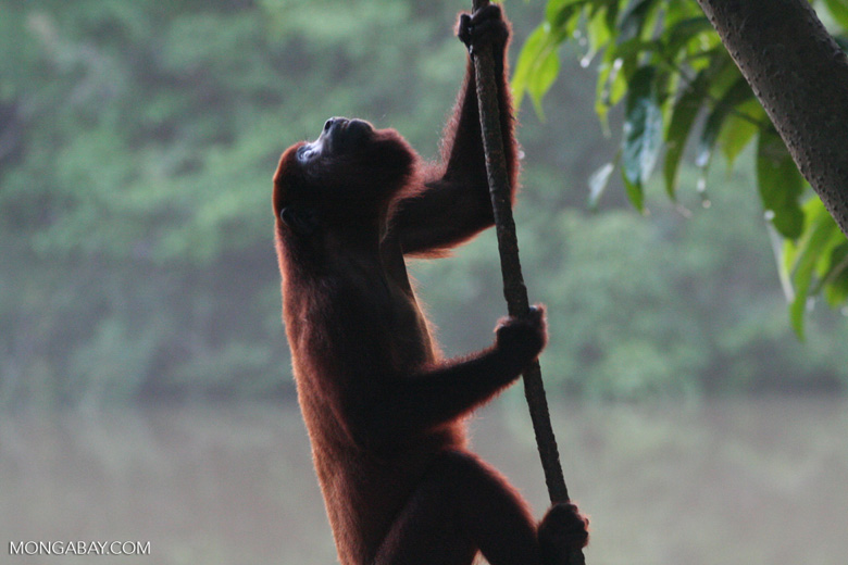 Red howler monkey [br_co-0334]