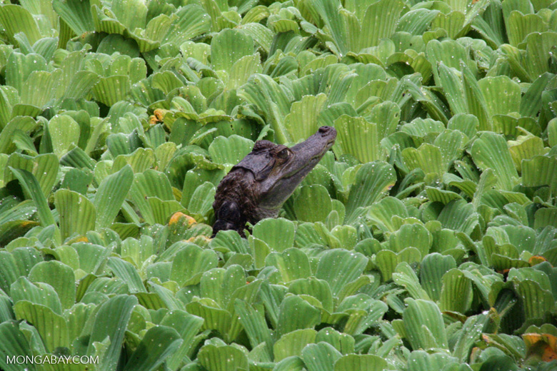 Juvenile caiman among water hyacinth