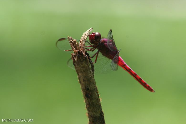Skimmer, family Libellulidae (Rasberry dragonfly)