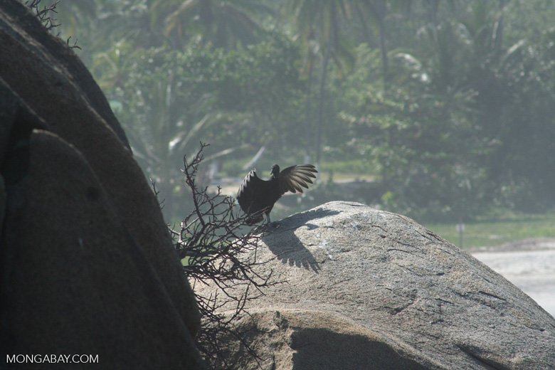Black Vulture (Coragyps atratus) drying its wings