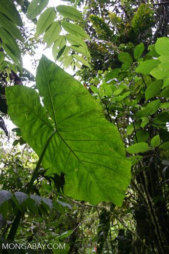 Umbrella leaf in Santuario Otún Quimbaya