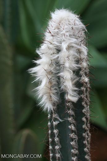 Pilosocereus albisummus