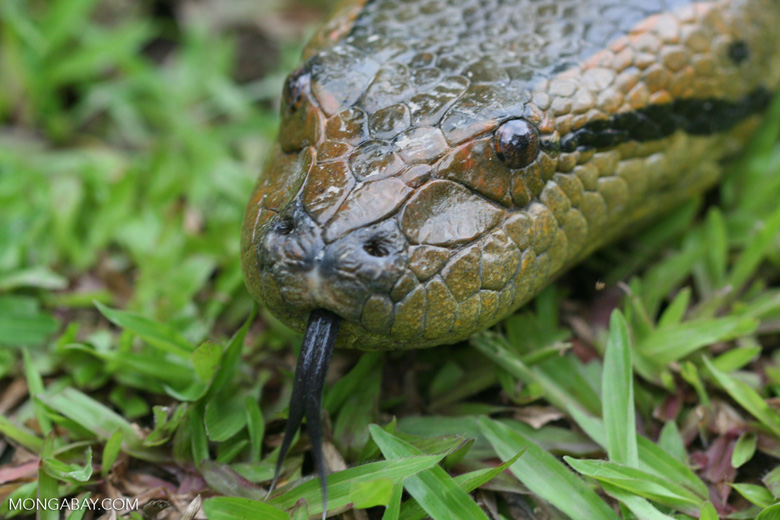 Anaconda with tongue extended