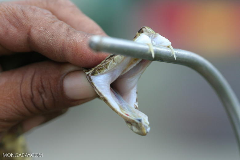 Preparing to milk a fer-de-lance for its venom