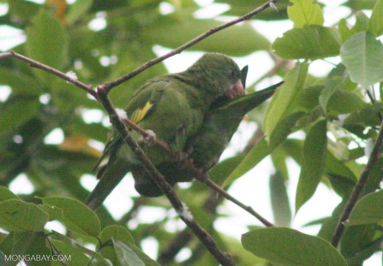 Parrot [br_co-9999]