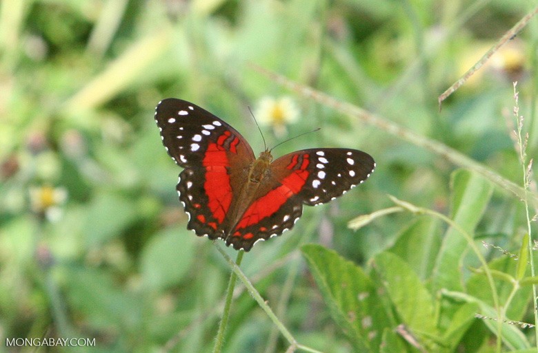Red, black, and white butterfly - Scarlet Peacock (Anartia amathea)
