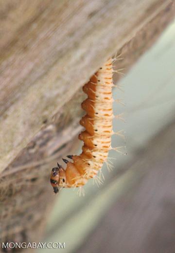 Light orange bristly caterpillar in Parque Tayrona