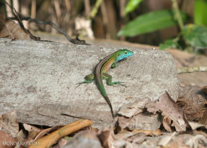 Cnemidophorus deppei lizard in Colombia