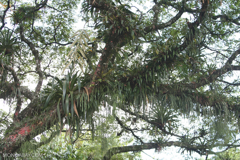 Bromeliads blanketing a canopy tree in the Andean montane forest