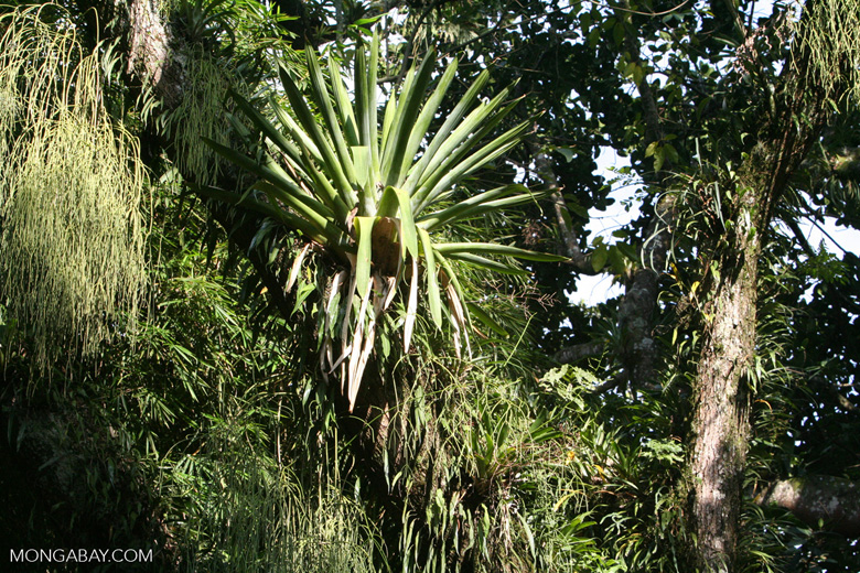 Bromeliad in the Andean montane forest of Colombia