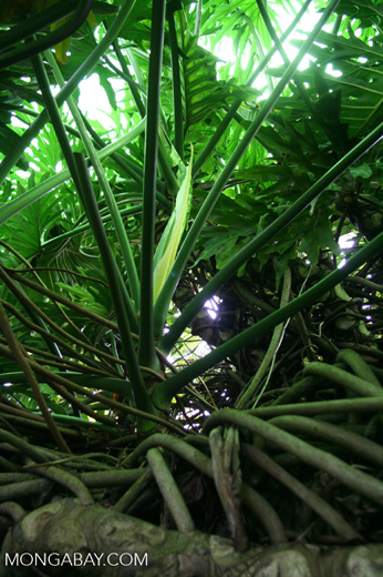 Roots of Philodendron selloum