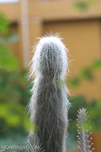 Old man cactus (Cephalocereus senilis) from Mexico - Hairy cactus