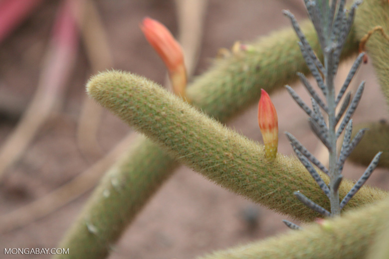 Cleistocactus winteri, creeping cacti with yellow spines and orange-red flowers are Cleistocactus sp.