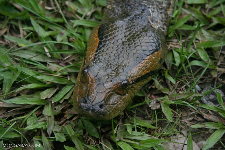 Headshot of a green anaconda (Eunectes murinus)