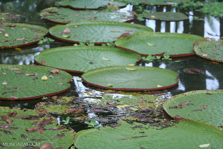 Victoria amazonica water lilies
