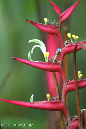Red Heliconia with yellow and white blossoms