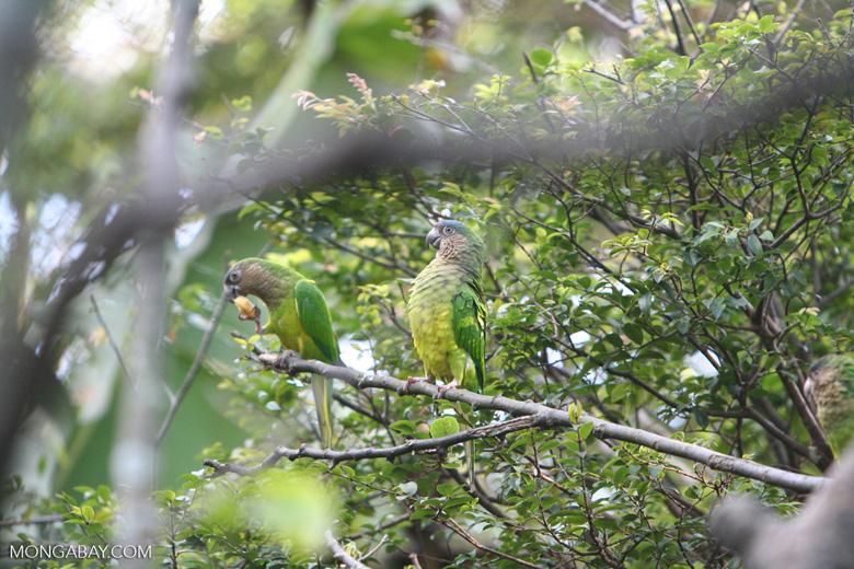 Brown-throated Parakeet (Aratinga pertinax)
